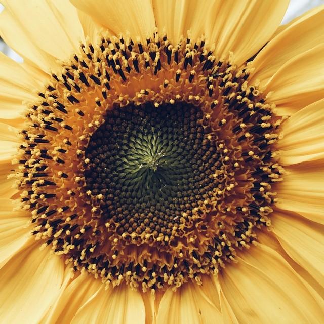 instagram sunflower carolinealgot